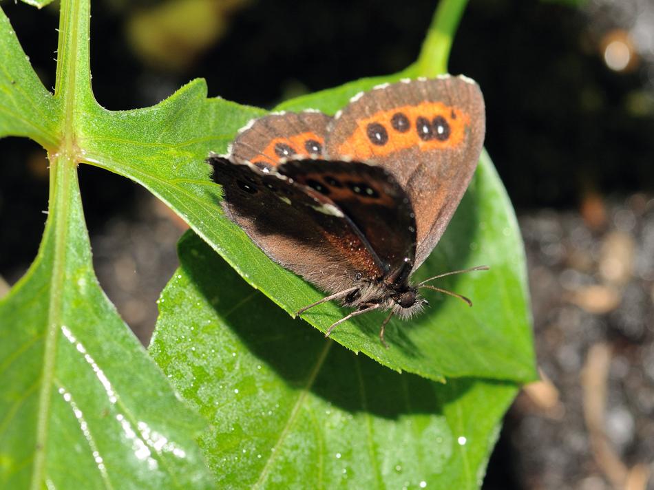 Schmetterling Makro *Waldmohrenfalters, Erebia ligea*