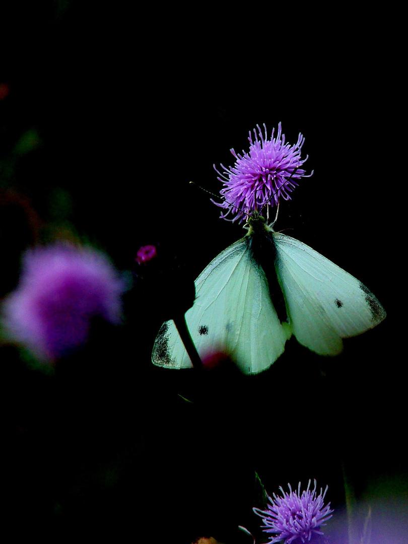 Schmetterling mal anders