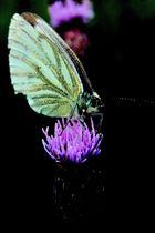 Schmetterling mal anders III