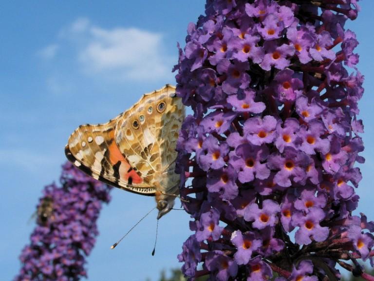 Schmetterling mit Fledermausgesicht