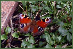 Schmetterling mit ......? Wer weiß, was das ist?