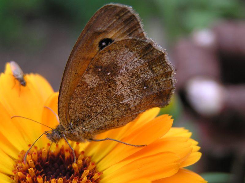 Schmetterling Mohrenfalter