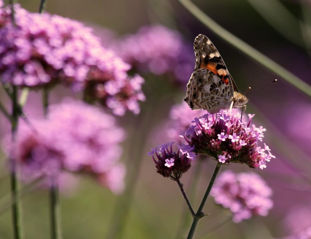 Schmetterling No.2