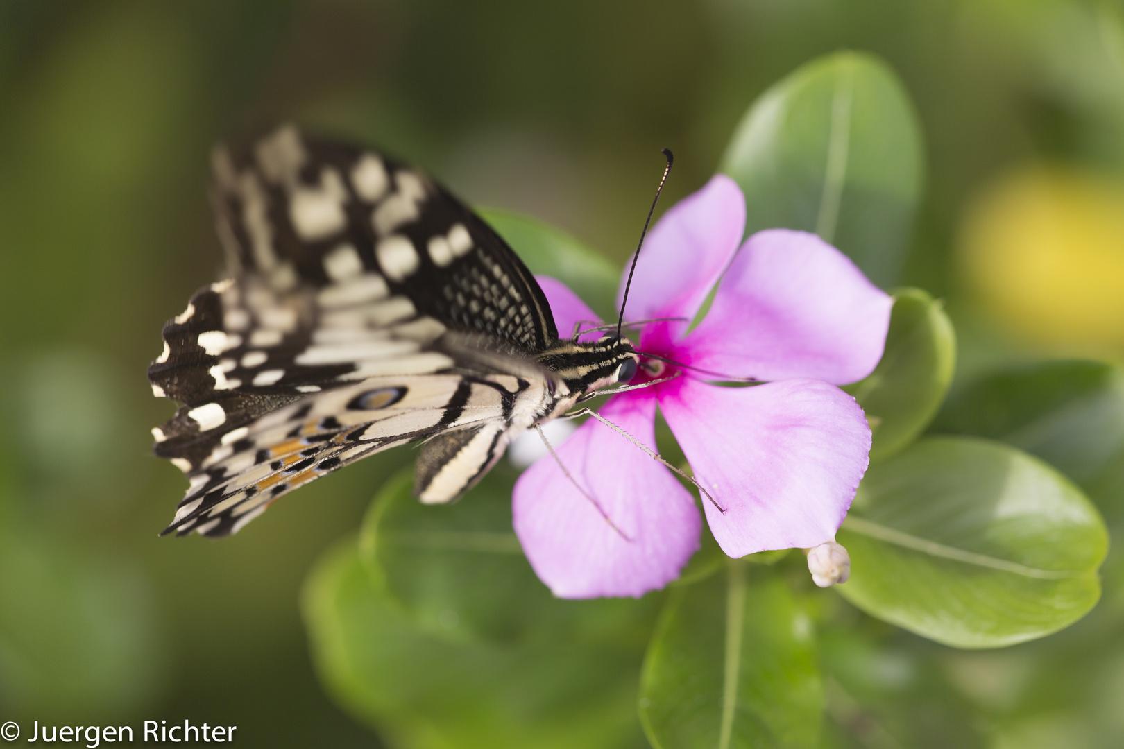 Schmetterling Nord Thailand Phrae