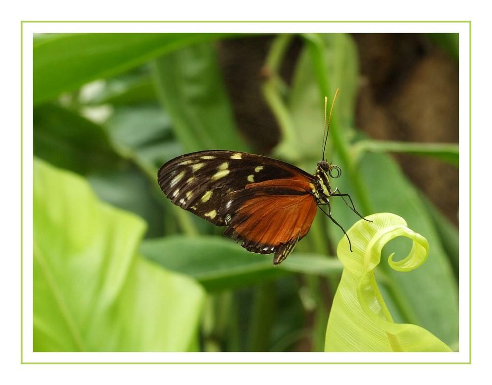 Schmetterling Nr. 2