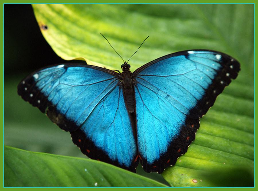 Schmetterling, offensichtlich blau.....