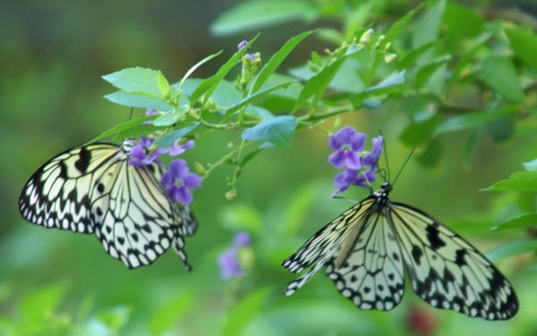 Schmetterling-Paar
