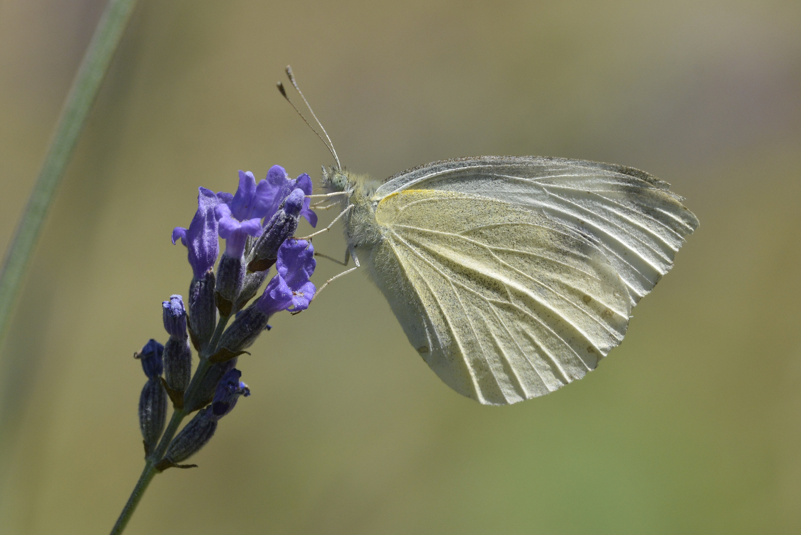 Schmetterling Rapsweißling (Pieris napi)
