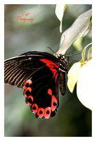 Schmetterling- Scharlach-Monarch-Segelfalter