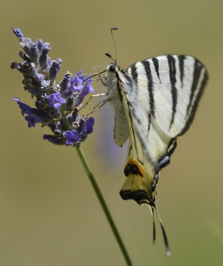 Schmetterling Schwalbenschwanz (Papilio machaon)