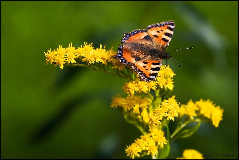 Schmetterling (Schweden 07)