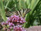 Schmetterling - Segelfalter