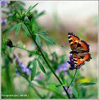 Schmetterling sucht den Sonnen- Strahl..