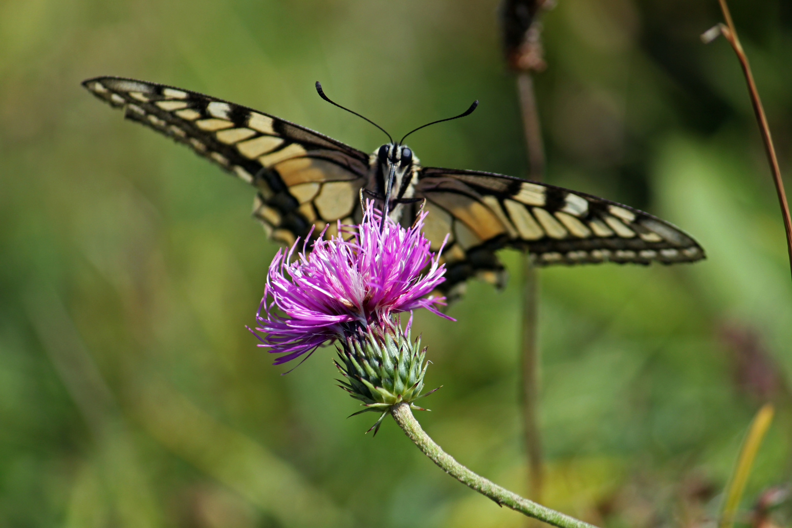 Schmetterling tankt Nektar