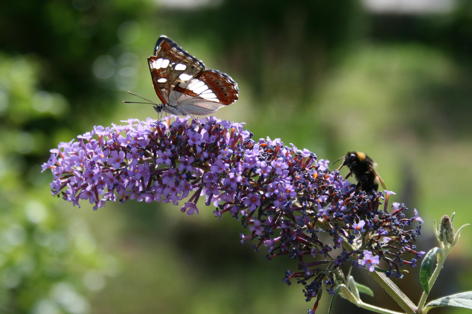 Schmetterling und Hummel