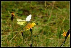 Schmetterling und Löwenzahn