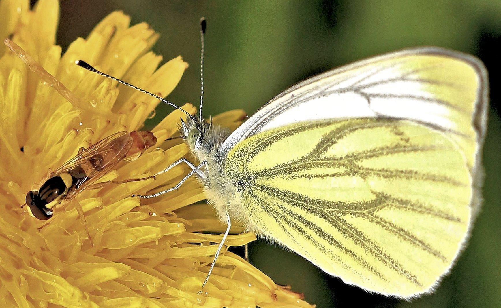 Schmetterling und Schwebfliege .....