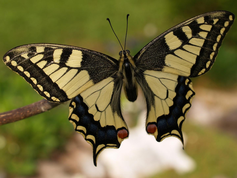 Schmetterling und seine Schönheit