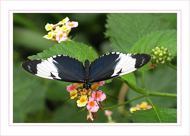 Schmetterling vernascht Blume