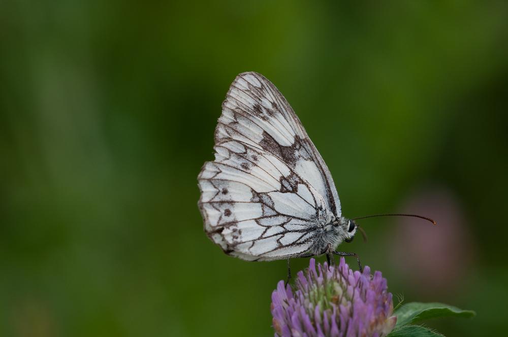 Schmetterling von der Seite