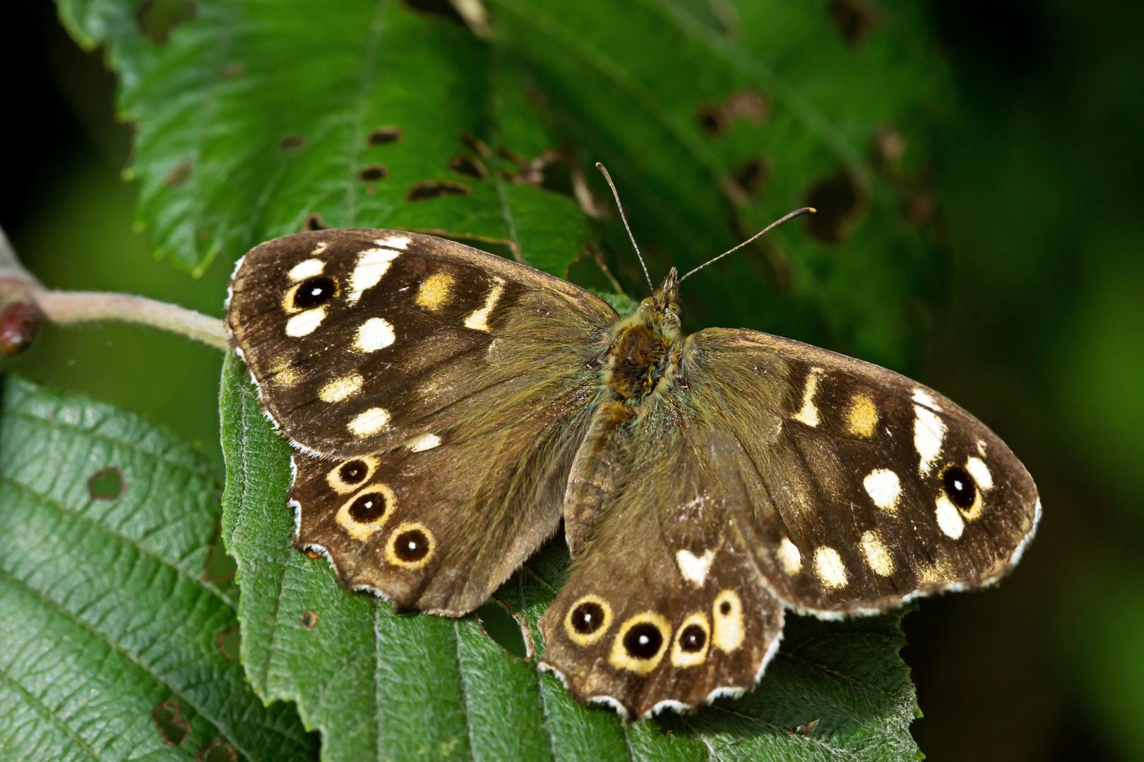 "Schmetterling ""Waldbrettspiel"" (Pararge aegeria tircis)"
