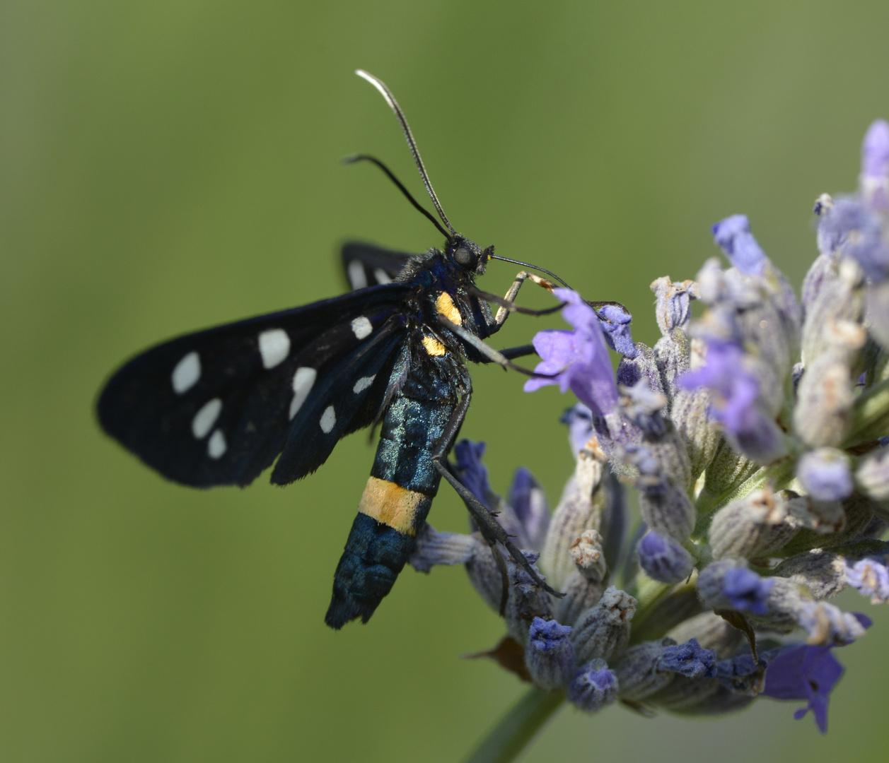Schmetterling Weißfleckwidderchen (Amata phegea)