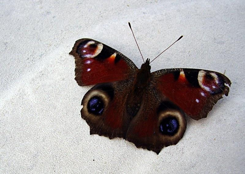 Schmetterling - Wer kennt den Namen? ;-)