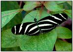 Schmetterling  Zebrafalter