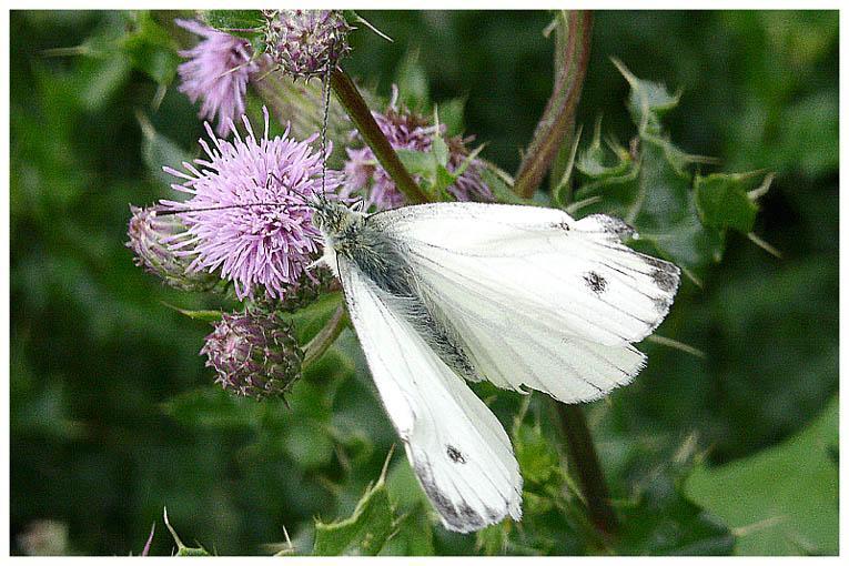 Schmetterling zu Besuch