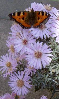 Schmetterling zu Besuch bei unseren Astern