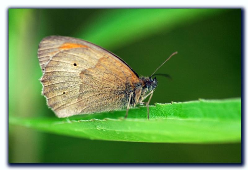 Schmetterling_01847_1