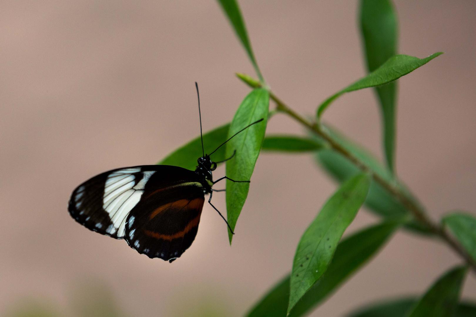 Schmetterling03