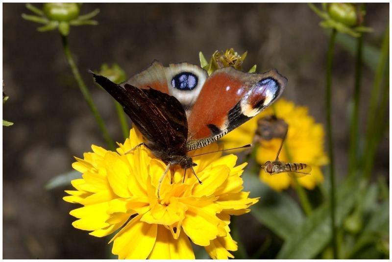 Schmetterling#1