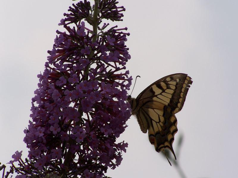 Schmetterling#2