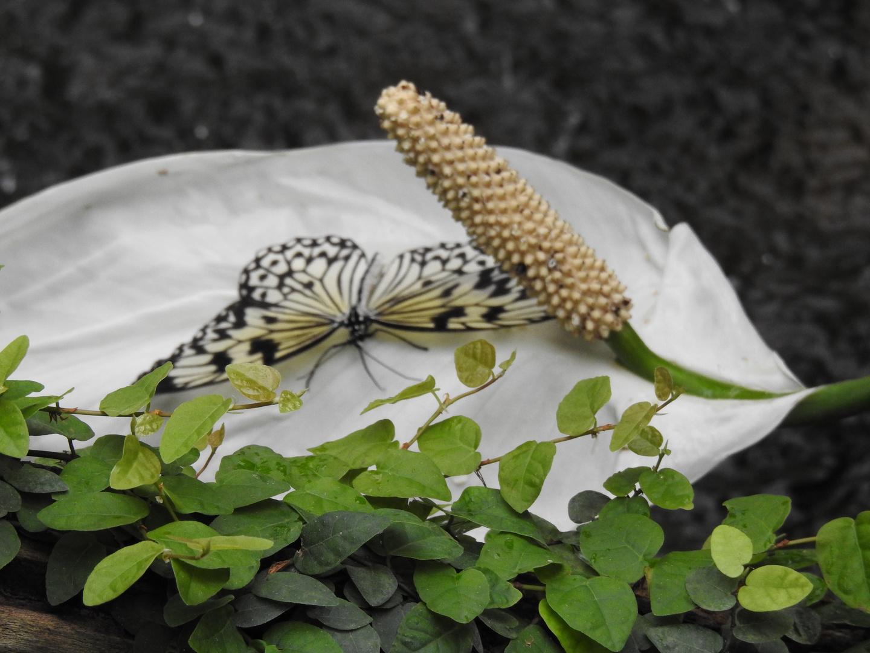 Schmetterling8