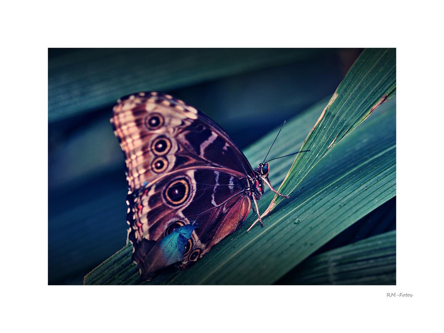 SchmetterlingArt