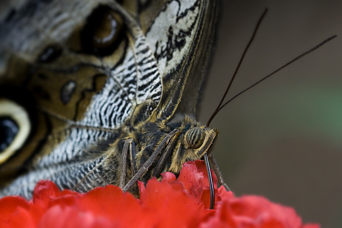 Schmetterlingdesert