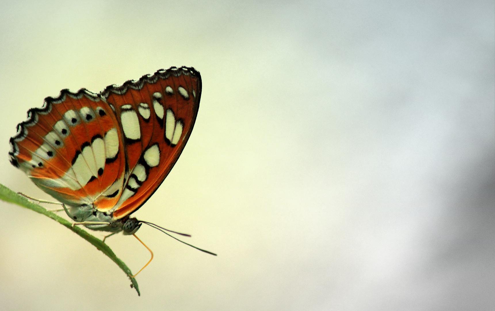 Schmetterling,du schönes Ding....