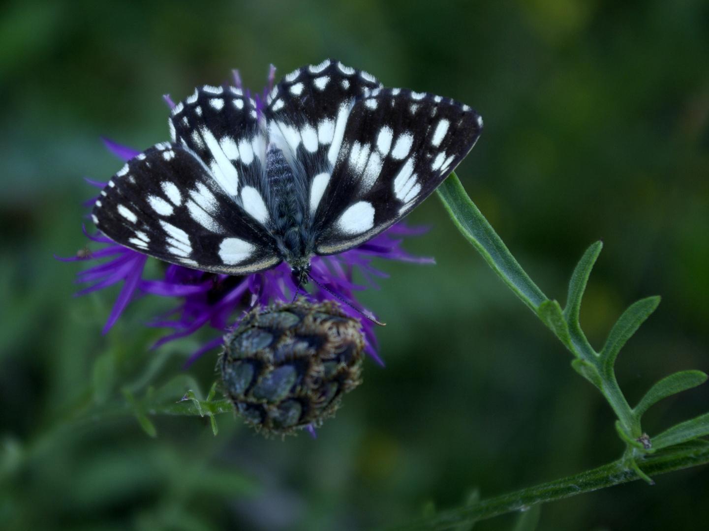 Schmetterlinge 3 Vercors