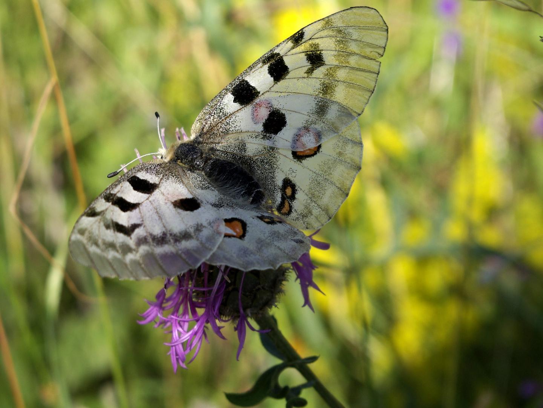 Schmetterlinge 5 Vercors