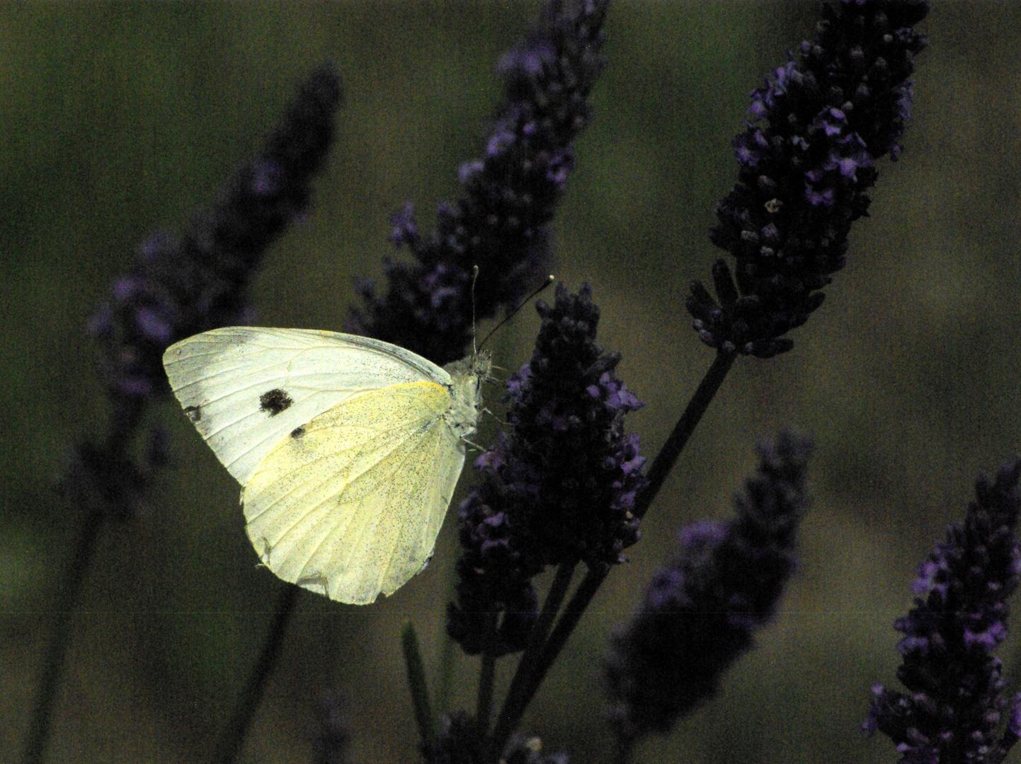 Schmetterlinge 6 Vercors