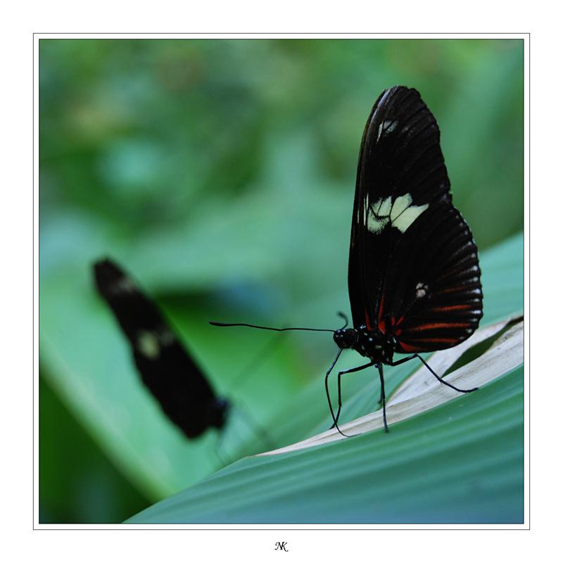 Schmetterling(e)