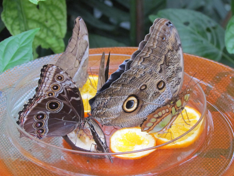 Schmetterlinge am Futternapf