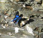 Schmetterlinge am Rio Negro auf 1000m Höhe in den Yungas von Bolivien