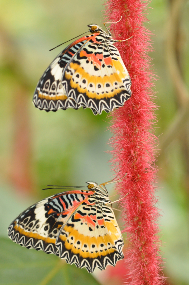 Schmetterlinge am roten Faden