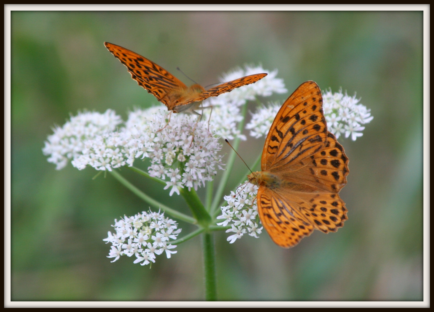 Schmetterlinge auf Blüte