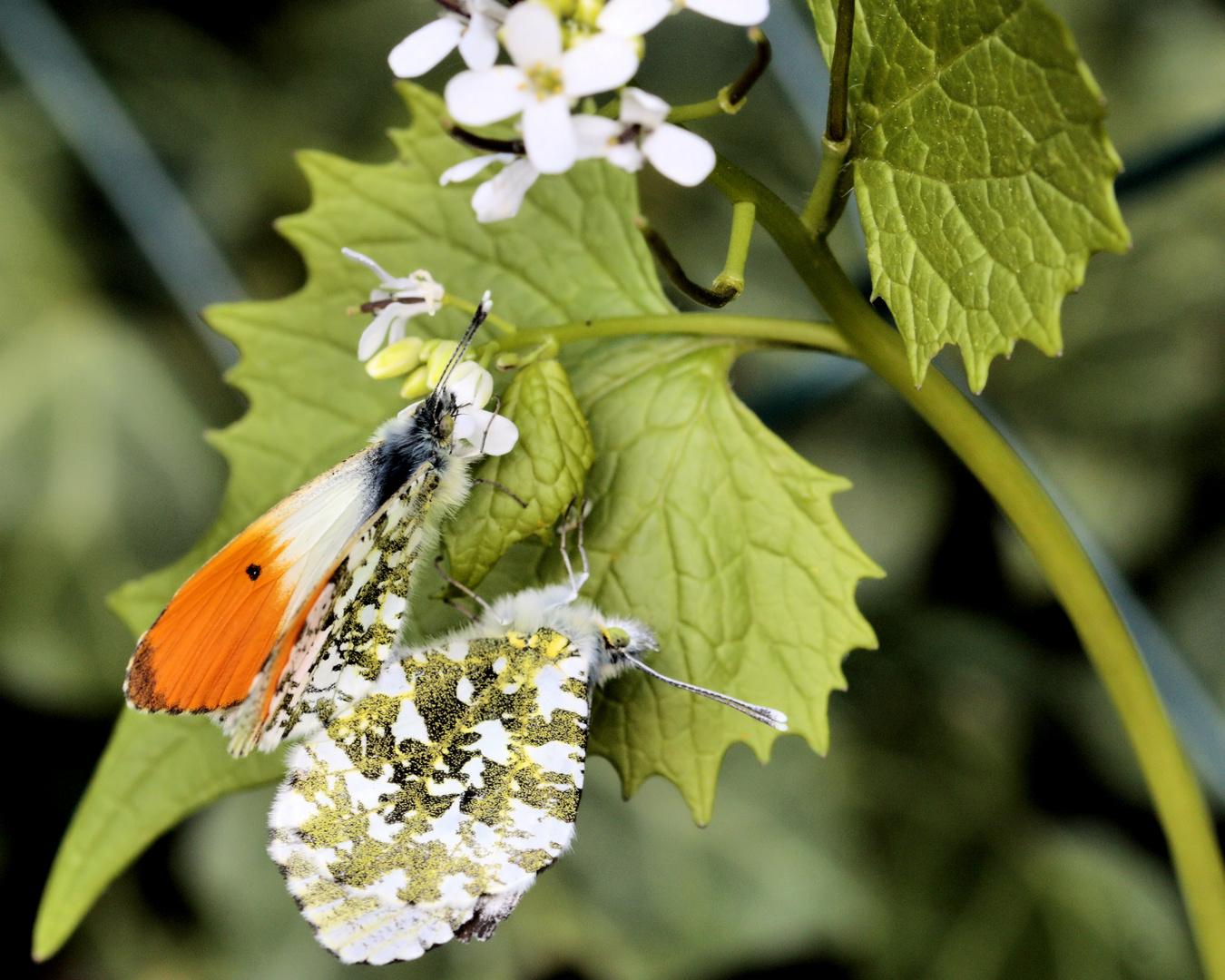 Schmetterlinge bei der Paarung ??