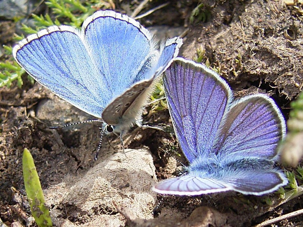 Schmetterlinge (Bläuling)