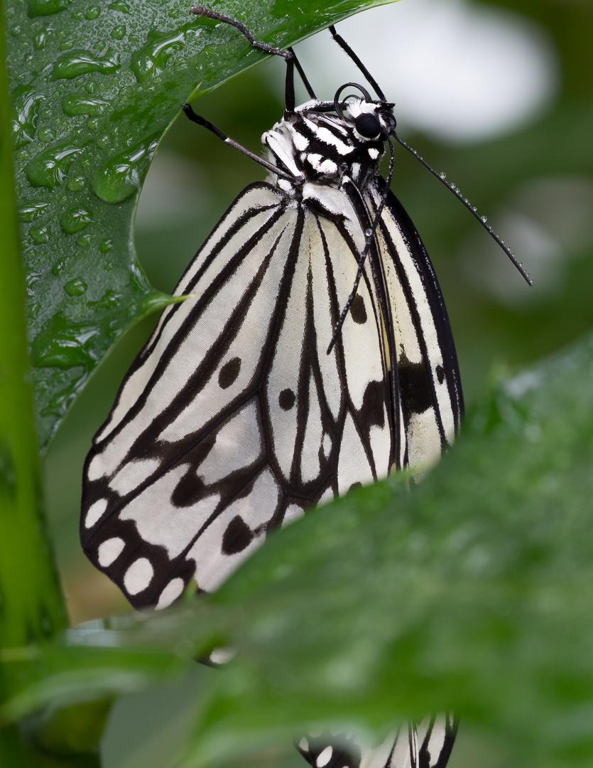 Schmetterlinge Botanischen Garten München