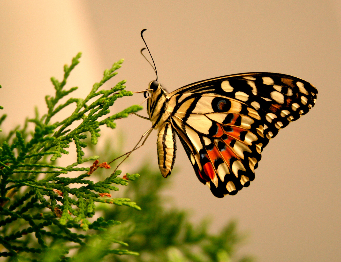 Schmetterlinge haben Freiheit !